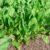 Warzywa liściowe cz. 6